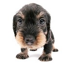 dachshund, sausage dog, domestic dog Canis lupus f. familiaris, puppy