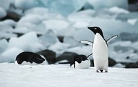adelie penguin Pygoscelis adeliae, group on snow field, Antarctica, Adelaide Island