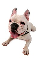 French Bulldog Canis lupus f. familiaris, sitting down and panting