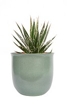 Thread Agave, Thread_leaf Agave, Hairy Agave Agave filifera, potted plant
