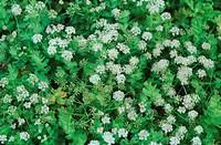 creeping marshwort Apium repens