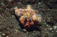 Coral Hermit Crab (Dardanus tinctor), Tulamben, Bali, Indonesia