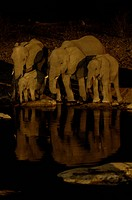 African elephant Loxodonta africana, herd at water hole at night, Namibia