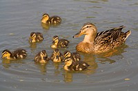 Female Mallard Anas platyrhynchos with fledglings, swimming in a pond in Waltrop, North Rhine_Westphalia, Germany