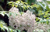 Persian lilac, chinaberry tree Melia azedarach, inflorescence, fruits was strung to rosaries