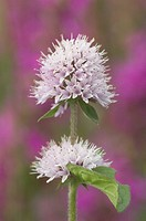 wild water mint Mentha aquatica, inflorescence, France