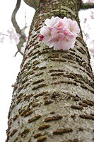 oriental cherry Prunus serrulata, blooming short shoot at the stem