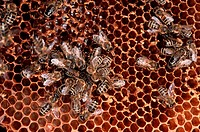 honey bee, hive bee Apis mellifera mellifera, group of animals on honeycomb, Germany, North Rhine_Westphalia