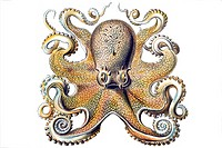 Historical illustration, Gamochonia, Octopus vulgaris, Plate 54 from Ernst Haeckel's Kunstformen der Natur, Art Forms of Nature