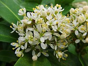 Japanese Skimmia Skimmia japonica, flowers