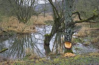 tree gnawed by beaver in river landscape, Germany, Rhineland_Palatinate