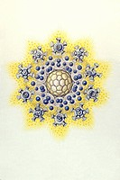 Historical illustration, Polycyttaria, Radiolarian, Plate 51 from Ernst Haeckel´s Kunstformen der Natur, Art Forms of Nature
