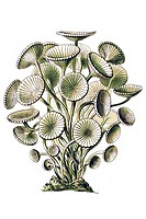 Historical illustration, Siphoneae, Giant Marine Algae, Acetabularia mediterranea, mushroom-shaped Dasnkladee, Plate 64 from Ernst Haeckel's Kunstform...