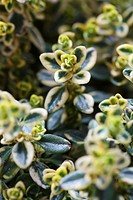 Citrus Thyme (Thymus × citriodorus)