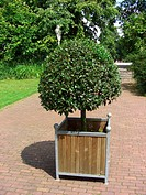 sweet bay laurel, bay tree, sweet bay Laurus nobilis, container plant