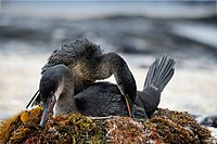 Flightless cormorant Phalacrocorax harrisi, couple, breeding, nest, Fernandina, Punta Espinosa, island, Galapagos archipelago, Unesco World Heritage S...