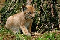 Eurasian lynx Lynx lynx, pup, Germany, NP Bavarian Forest