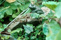 European edible frog, common edible frog Rana kl. esculenta, Rana esculenta, with frog statue