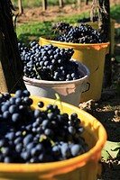grape_vine, vine Vitis vinifera, grape harvest, grapevines in buckets, Austria, Niederoesterreich, Elsarn