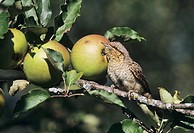 Eurasian Wryneck (Jynx torquilla), adult among apples in orchard, Oberaegeri, Switzerland, Europe