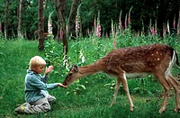 fallow deer Dama dama, Cervus dama, boy feeding hind in a game park