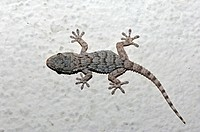 Moorish Gecko, Moorish Wall Gecko, Wall Gecko, Common Gecko, Crocodile Gecko, Southern France (Tarentola mauritanica), Provence, Southern France, Fran...