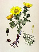 Historic illustration, Pheasant´s Eye Adonis vernalis, under nature conservation, poisonous plant, medicinal plant