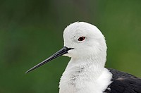 Black-winged Stilt (Himantopus himantopus), portrait, Provence, South France, Europe