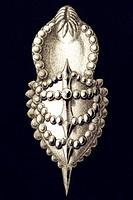 Historic illustration, tablet 2, titel Thalamophora, name Globigerina, Cristellaria echinata, side view, Ernst Haeckel, Kunstformen der Nature, Art Fo...