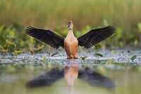 Fulvous Whistling-Duck (Dendrocygna bicolor), adult spreading wings in wetland, Sinton, Corpus Christi, Texas Coast, USA