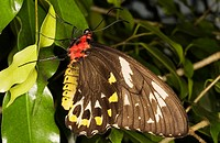 Cairns Birdwing Butterfly - Female