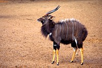 nyala Tragelaphus angasi, male showing dominance, South Africa, Kwazulu_Natal, uMkhuze Game Reserve
