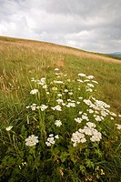 Wildflowers, Max Patch, Appalachian Trail, Pisgah Nat Forest, NC