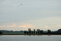 common crane Grus grus, bird migration , Germany, Mecklenburg_Western Pomerania, Darss, Zingst