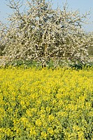 wild cherry, sweet cherry, gean, mazzard Prunus avium, rape field with cherry tree in blossom, Germany, Baden_Wuerttemberg, Ortenau