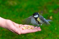 great tit Parus major, flying on a hand with nuts, Germany, North Rhine_Westphalia