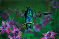 sparkling violetear Colibri coruscans, sitting on a twig, with outstretched wings