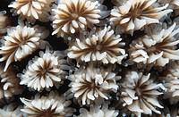 crystal coral Galaxea fascicularis.