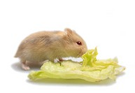striped hairy_footed hamster, Dzungarian hamster Phodopus sungorus, eating