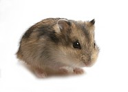 striped hairy_footed hamster, Dzungarian hamster Phodopus sungorus, brindled