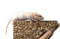 fancy rat Rattus norvegicus forma domestica, walking on stone