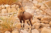 Nubian Ibex (Capra nubiana) in the Judean desert near En Gedi, Dead Sea, Israel, Near East, Orient