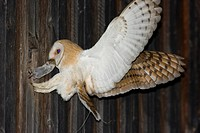 Barn Owl Tyto alba with a mouse in its beak, feeding its offspring in a barn, its wings spreaded