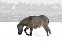 Duelmen pony Equus przewalskii f. caballus, mare in winter with snow flurry, Germany