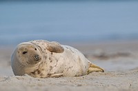 Grey Seal Halichoerus grypus