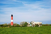 Sheep next to a lighthouse, Pellworm, North Frisia, Schleswig-Holstein, Germany, Europe