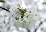 dwarf cherry, morello cherry, sour cherry Prunus cerasus, close_up of some blossoms