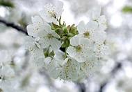 dwarf cherry, morello cherry, sour cherry Prunus cerasus, close_up of some blossoms
