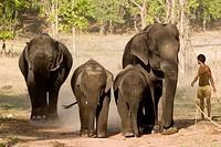 Asiatic elephant, Asian elephant Elephas maximus, on chains with mahut, India, Madhya Pradesh, Bandhavgarh NP