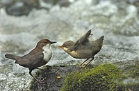 dipper Cinclus cinclus, adult bird feeding young, Germany, East Westphalia, Apr 05.